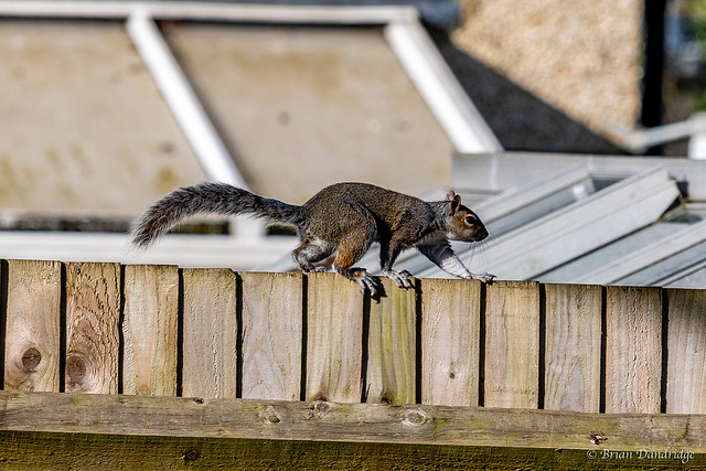Grey Squirrel on the Fence
