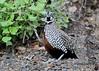 Montezuma quail - Cyrtonyx montezumae by Stoil Ivanov