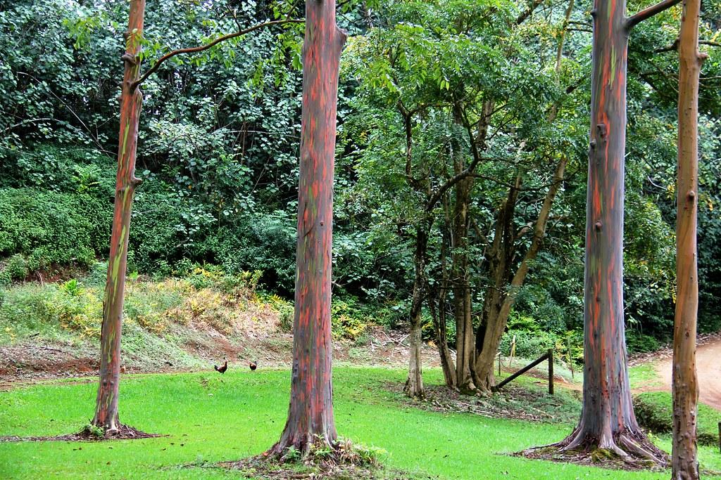 Rainbow Eucalyptus Kauai Hawaii The Most Distinctive Fea Flickr