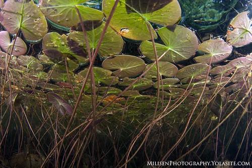 life plants lake seascape green jeff water river living pond stream underwater lily connecticut under pad aquatic habitat northeast freshwater milisen photocontestneoo2012 milisenhawaiiedu