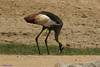 Black Crowned-Crane (Balearica pavonina) by youngwarrior