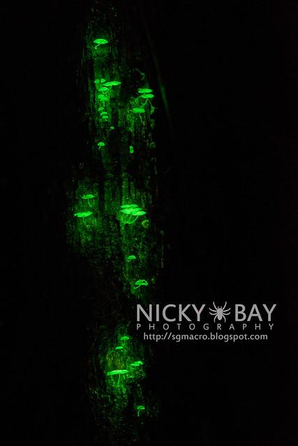 Bioluminescent Fungi (Mycena illuminans) - DSC_8527