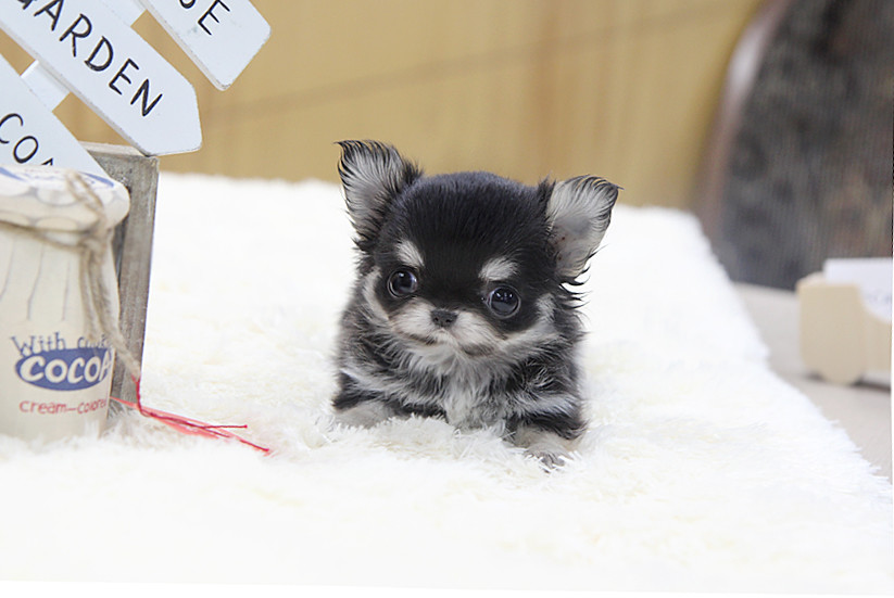 Top Quality Long Hair Teacup Chihuahua Puppy Here S Top Qu