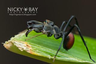 Ant-Mimicking Jumping Spider (Toxeus maxillosus) - DSC_1372