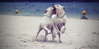 Dogo Fight | by Erwan S.