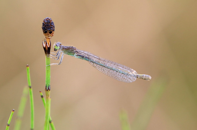 Ischnure naine ♀ - Courtepin/Fribourg/CH_20160721_460