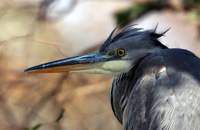 J77A0112 -- Blue Heron with nice hairstyle