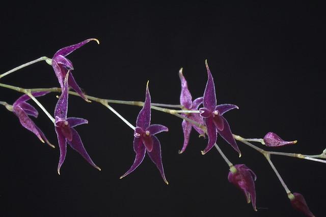 Lepanthopsis astrophora
