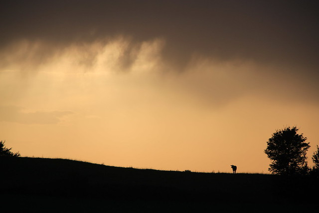 lonesome cattle at Eifel Highlands