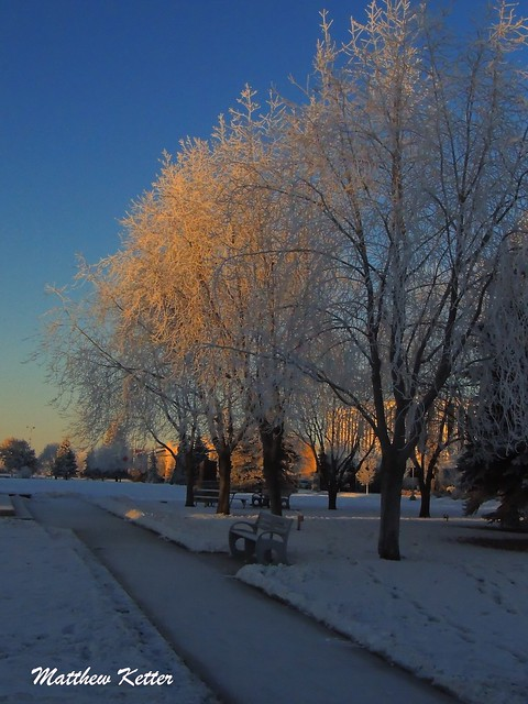 Frosted Tree-row ~ Delaney Park, Anchorage