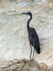 Humblot's Heron (Ardea humbloti) by David Cook Wildlife Photography