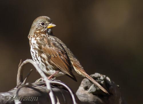 foxsparrow thegalaxy hannsparkbirds2012