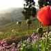 Tôt le matin dans le jardin Thurbo, Darjeeling