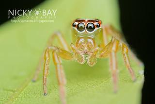 Jumping Spider (Artabrus erythrocephalus) - DSC_9841