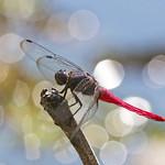 Common Red Skimmer : Resting . . .