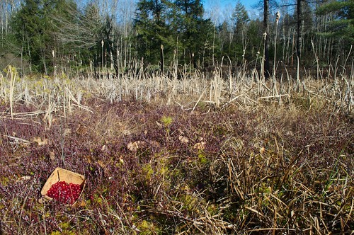 berrypicking bog cranberry cranberrybog cranberrypicking ediblelandscape harvest largecranberry lateharvest nativeberries nativeplant permaculture pickyourown redberries vacciniummacrocarpon wildberries wildberry wildedible
