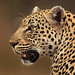 Image: Panthera Pardus Profile