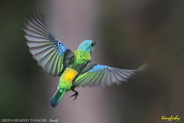 (#806c) Green-Headed Tanager - [ Itatiaia National Park, Brazil ]