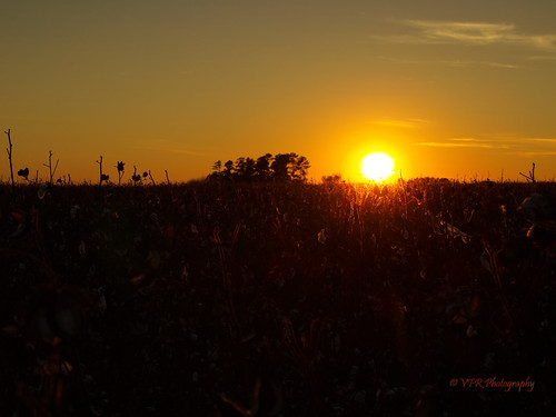 sunset red field silhouette yellow gold golden amber glow sundown dusk farm farming alabama silhouettes sunsets athens southern cotton crop fields glowing crops thesouth agriculture dixie silhouetted agricultural export cottonfield settingsun exports limestonecounty uplandcotton