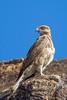 Buteo brachypterus / Madagascar buzzard / Buse de Madagascar by François Dorothé