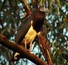 Abdim's Stork by Mandara Birder