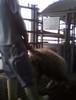 עובד גורר כבשה ברגלה האחורית