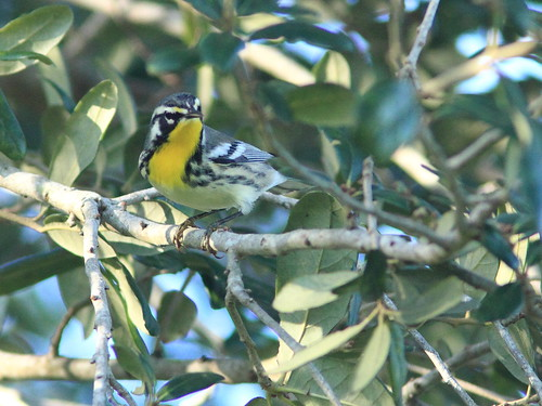 Yellow-throated Warbler 20160820