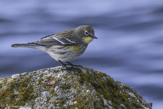 Yellow-rumped Warbler | by Bob Gunderson