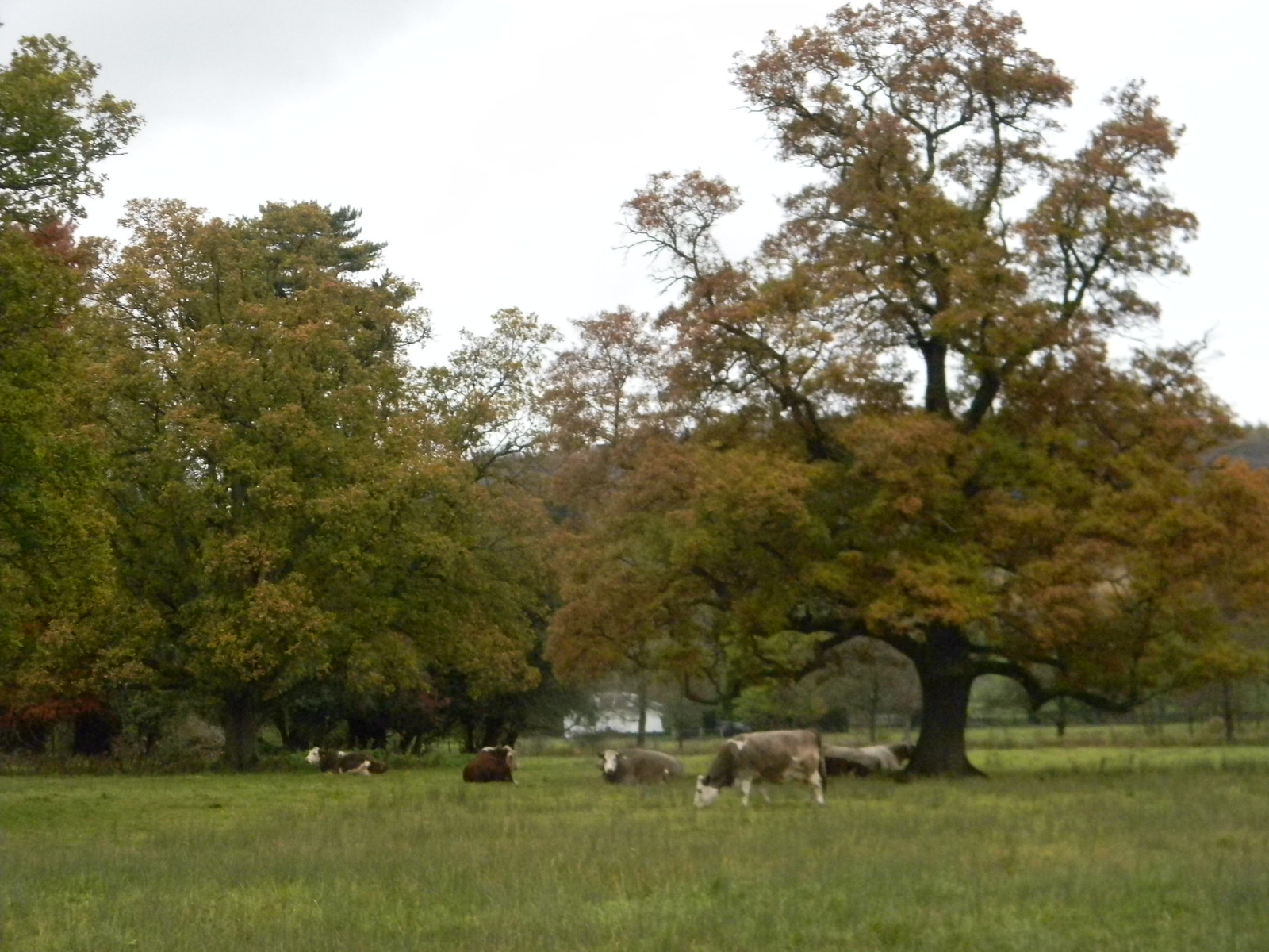 Cows lying down Well, most of them, anyway. Henley Circlular via Hambleden (short)