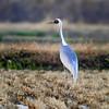 재두루미 白枕鹤 White-naped Crane by somchai@2008