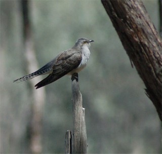 Pallid Cuckoo adult | by Friends of Chiltern Mt Pilot National Park