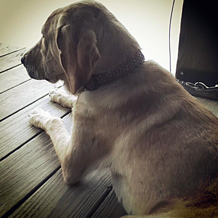 Macy_2a   Yellow lab/basset hound mix   RescueMe ...