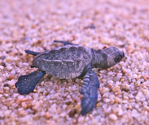 Releasing Baby Turtles to the Sea | by jurvetson