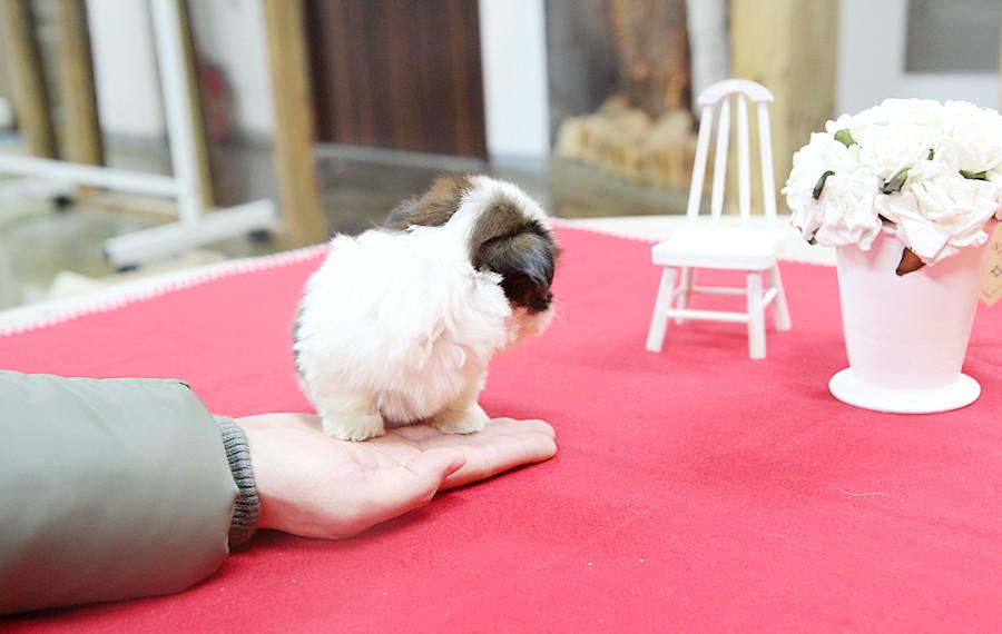 Precious Teacup Shih Tzu Puppy Heres A Stunning Teacup Sh Flickr