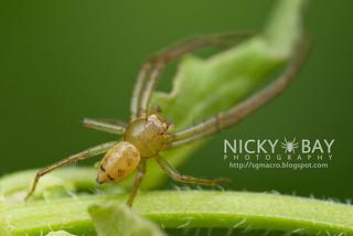 Crab Spider (Spilosynema sp.) - DSC_1271