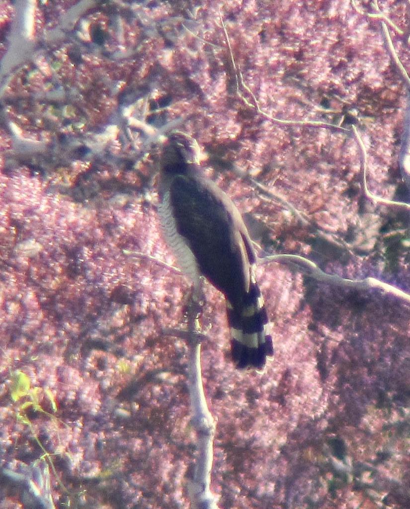 Würgadler, dunkle Morphe, über rosa Kronendach (Morphnus guianensis), NGID1164212839