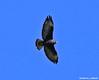 Short-tailed Hawk (Buteo brachyurus) LIFER by Critter Seeker
