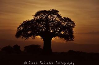 Sunrise with Baobab Tree, Tarangire National Park, Tanzania   by diana_robinson