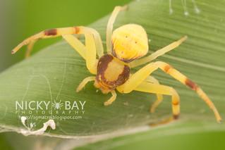 Crab Spider (Mastira bipunctata) - IMG_7251