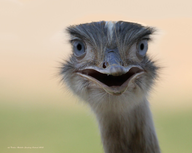 Smiling Ostrich