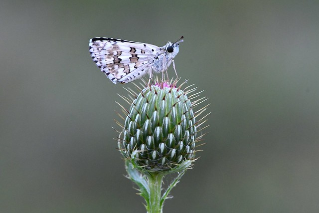 Checkered skipper butterfly.