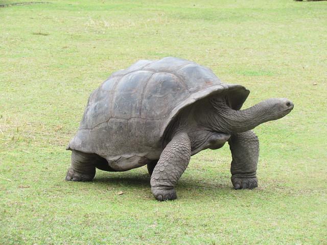 Aldabra Giant Tortoise (Dipsochelys dussumieri), Curieuse