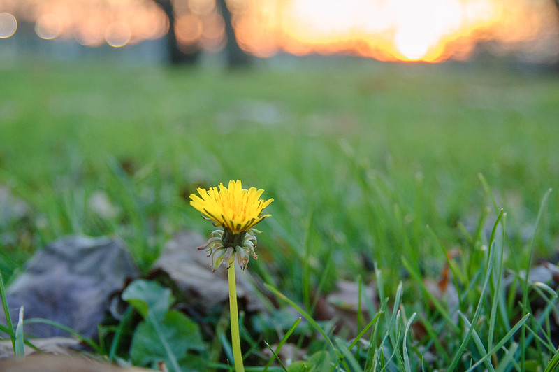sunset and dandelion