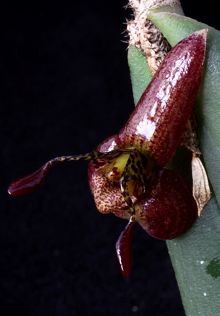 Myoxanthus raymonda #2