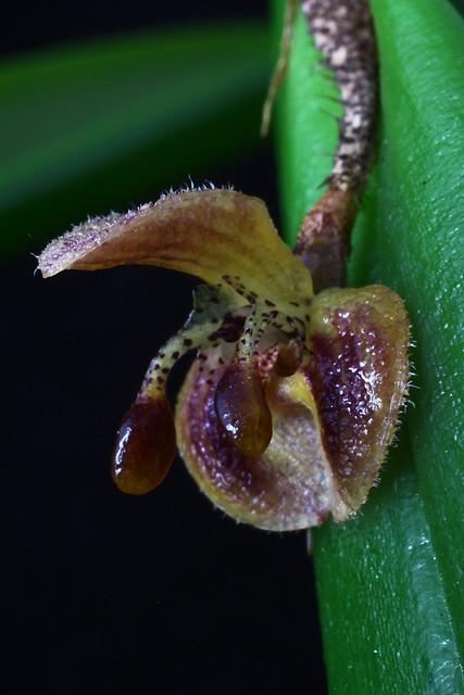 Myoxanthus raymonda #1