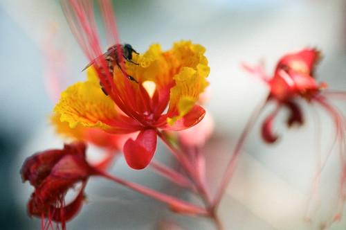 plant film austin insect flora texas kodak bokeh olympus bee 35mmfilm hydepark shallowdepthoffield tropicalflower portra400 om4 prideofbarbados 50mmf35macro zuikomacro