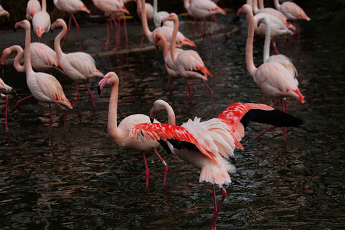 Flamant rose | by thomas-tb