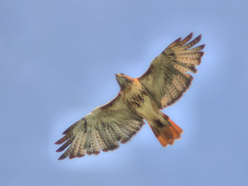 Red-tailed Hawk HDR 01-20160925