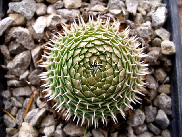 Orostachys spinosa (L.) Sweet form 08
