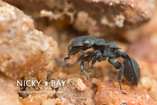 Armored Ant (Cataulacus sp.) - DSC_9876